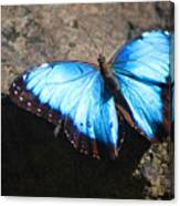 Blue Morpho #2 Canvas Print