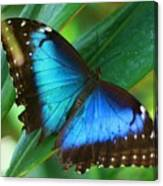 Blue Morpho Butterfly Canvas Print