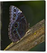 Blue Morpho.. Canvas Print