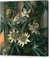 Blue Passion Flower For The  Temple Of Flora By Robert Thornton Canvas Print