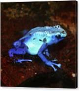 Blue Poison Dart Frog - Dendrobates Azureus Canvas Print