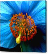 Blue Poppy II - Closeup Canvas Print