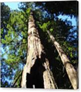 Blue Sky Big Redwood Trees Forest Art Prints Baslee Troutman Canvas Print