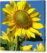 Blue Sky Sunflower Day Canvas Print
