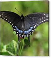 Blue Tailed Black Butterfly Canvas Print