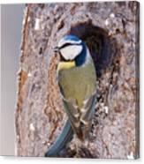 Blue Tit Leaving Nest Canvas Print