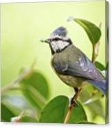 Blue Tit With Caterpillar Canvas Print