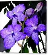 Blue Violet Orchids Canvas Print