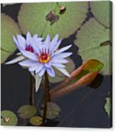 Blue Water Lilies Of Belize Canvas Print