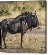 Blue Wildebeest Standing On Savannah Staring Ahead Canvas Print