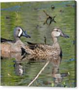 Male And Female Blue-winged Teal  Canvas Print