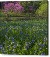 Bluebells And Redbuds Canvas Print