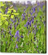 Bluebells In Judy Woods Canvas Print