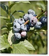 Blueberries On Blueberry Bush Canvas Print