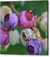 Blueberries On The Vine 5 Canvas Print