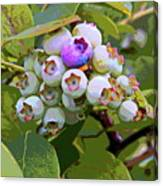 Blueberries On The Vine 7 Canvas Print