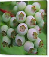Blueberries On The Vine 9 Canvas Print