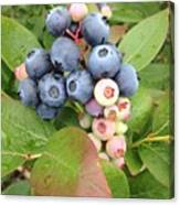 Blueberry Group Canvas Print