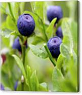 Blueberry Shrubs Canvas Print