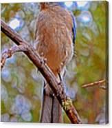Bluebird 010 Canvas Print
