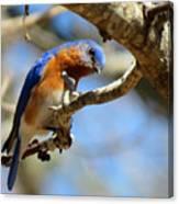 Bluebird Curiousity Canvas Print