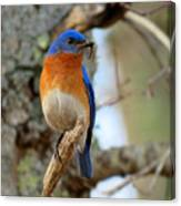 Bluebird Dad Canvas Print