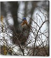 Bluebird In Briars Canvas Print