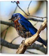 Bluebird In May Canvas Print