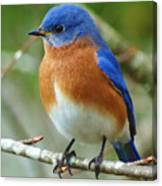 Bluebird On Branch Canvas Print