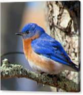 Bluebird Vibrance Canvas Print