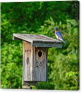 Bluebird With Grub Canvas Print