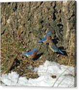 Bluebirds In Spring Canvas Print