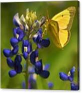 Bluebonnet And Butterfly Canvas Print