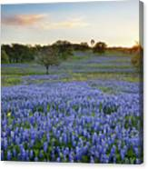 Bluebonnet Sunrise And A Windmill In Texas 1 Canvas Print