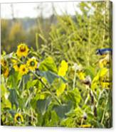 Bluejay And Sunflowers Canvas Print