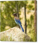 Bluejay Pondering Canvas Print