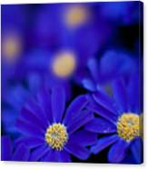 Bluey Gerbera Canvas Print