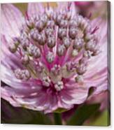 Blushing Pink Canvas Print