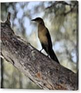 Boat - Tailed Grackle  Canvas Print