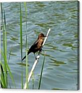 Boat Tailed Grackle Female Canvas Print