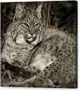 Bobcat In Black And White Canvas Print
