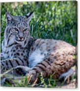 Bobcat In The Grass 2 Canvas Print