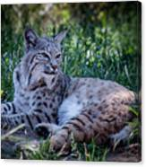 Bobcat In The Grass Canvas Print