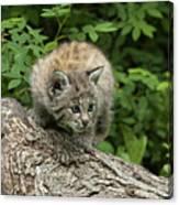 Bobcat Kitten Exploration Canvas Print