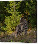 Bobcat kitten in the morning Canvas Print