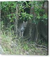 Bobcat In The Everglades Canvas Print