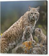 Bobcat Mother And Kittens North America Canvas Print