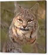 Bobcat Portrait Surrounded By Pine Canvas Print