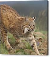 Bobcat Stalking North America Canvas Print