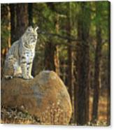 Bobcat Thoughts Canvas Print